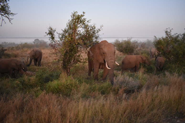 Kruger Elephants Early Morning.JPG