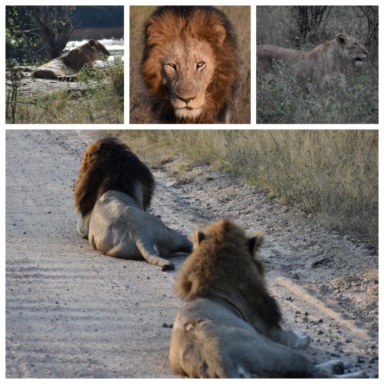 Kruger Lions Collage