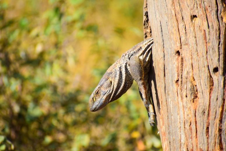 Kruger Monitor Lizard.JPG