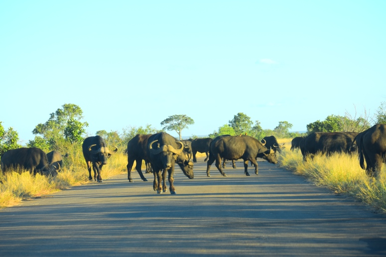 Kruger Water Buffalo Herd.JPG